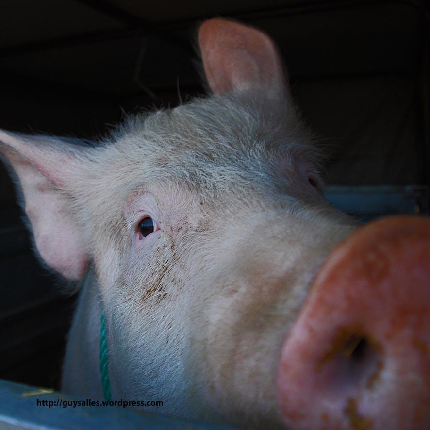 366-359Lalbenque-fete-truffe(cochon)