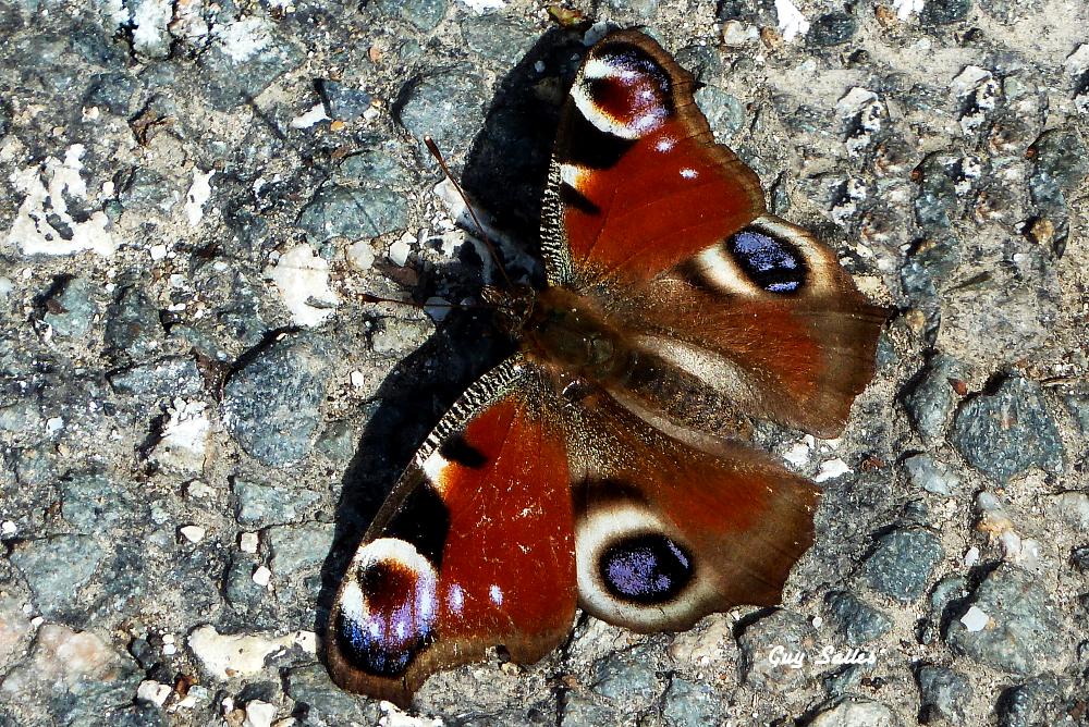 papillon-20130329