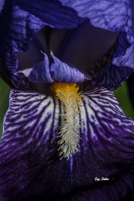 iris-macro