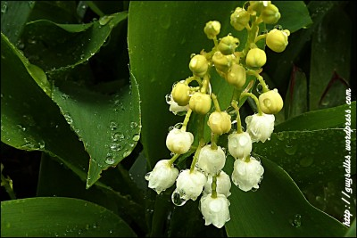 muguet_20130430_102028 copie2