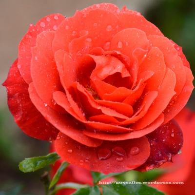 rose-aprèslapluie
