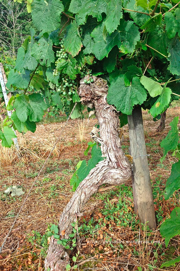 vigne-cep.2013070729