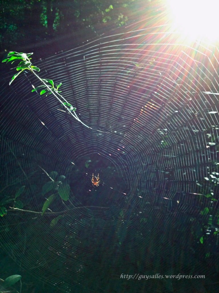 araignée du matin-20130805