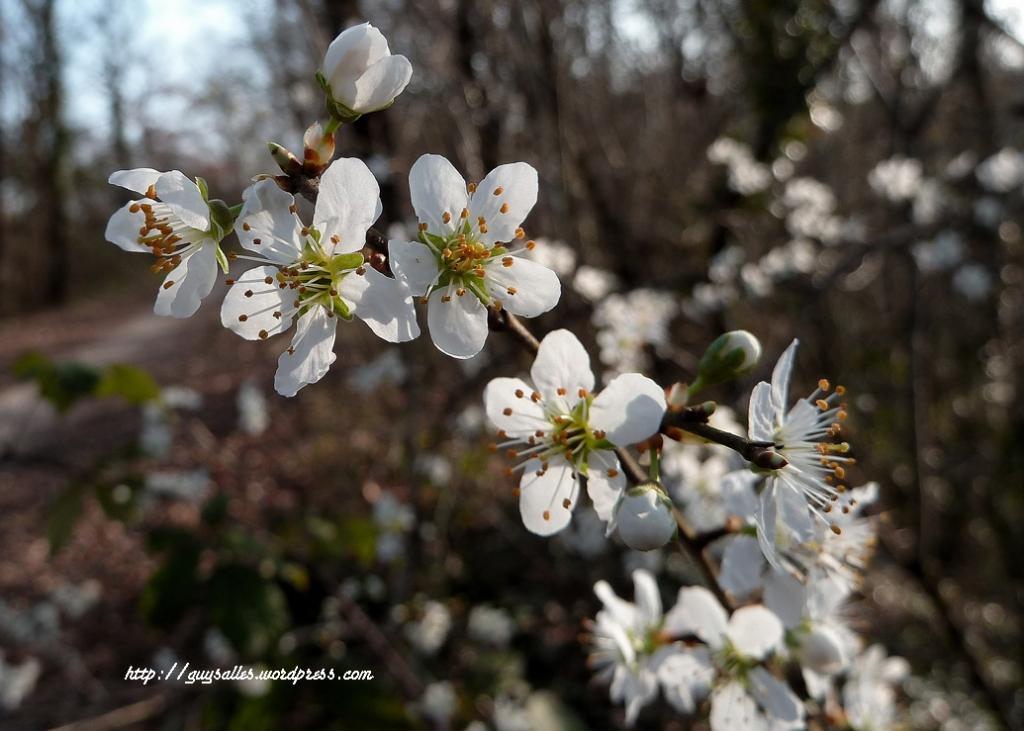 fleur-prunier-sauvage_20140311
