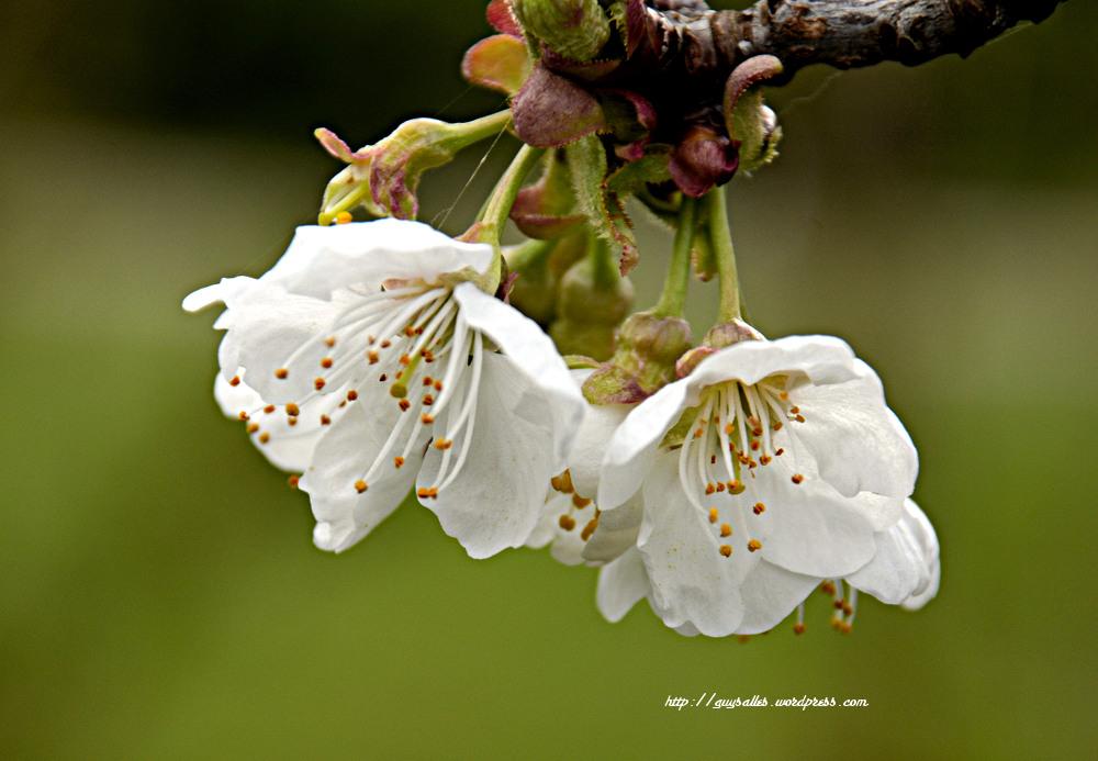 fleur-cerisier