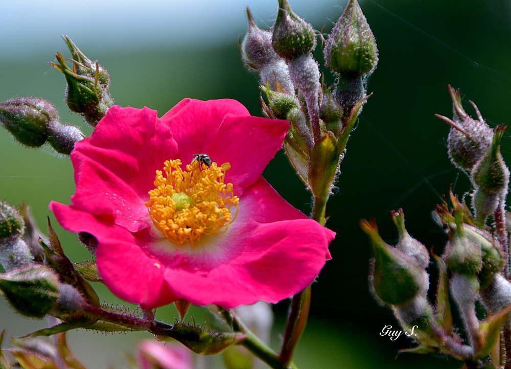 rose_20140601