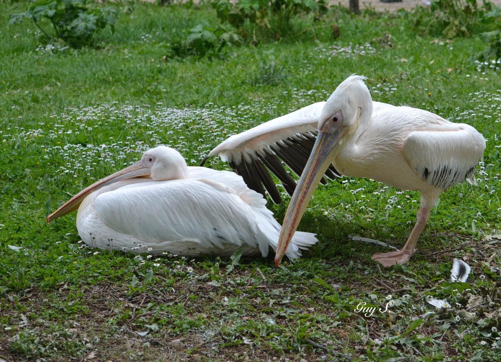 pelican_20140524_152305_gramat