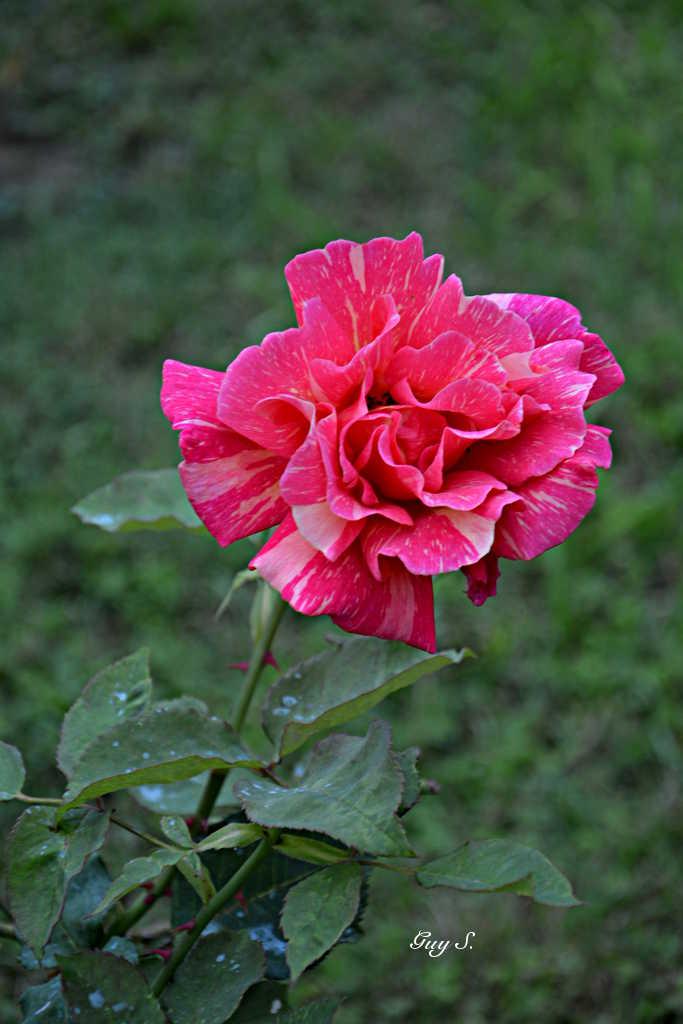 rose_20140812_083856