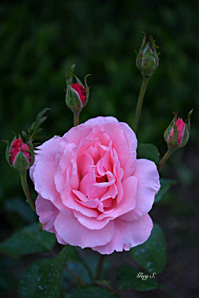 rose_20140812_084110