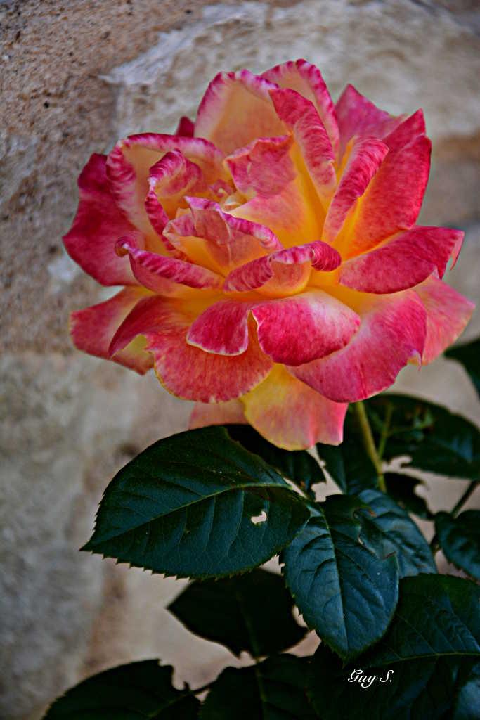 rose_20140815_180728