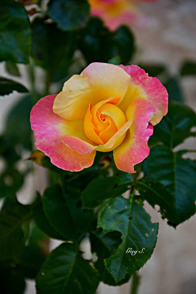rose_20140815_180745