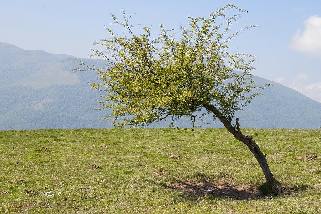arbreisole
