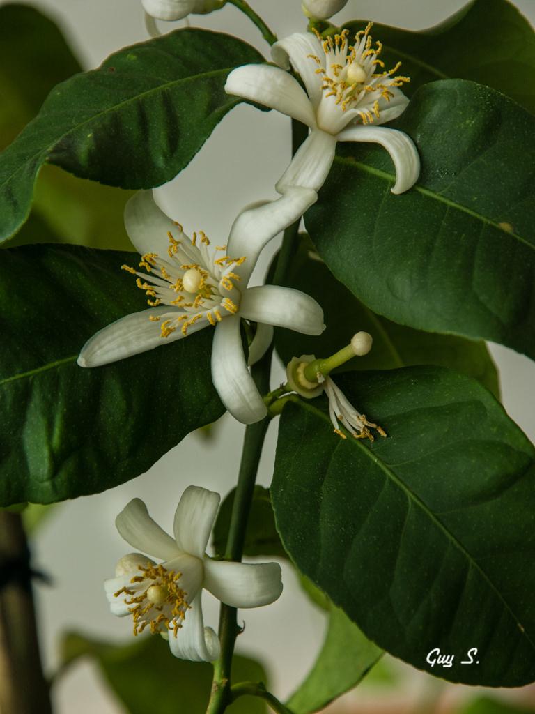 fleur-citronnier-081041