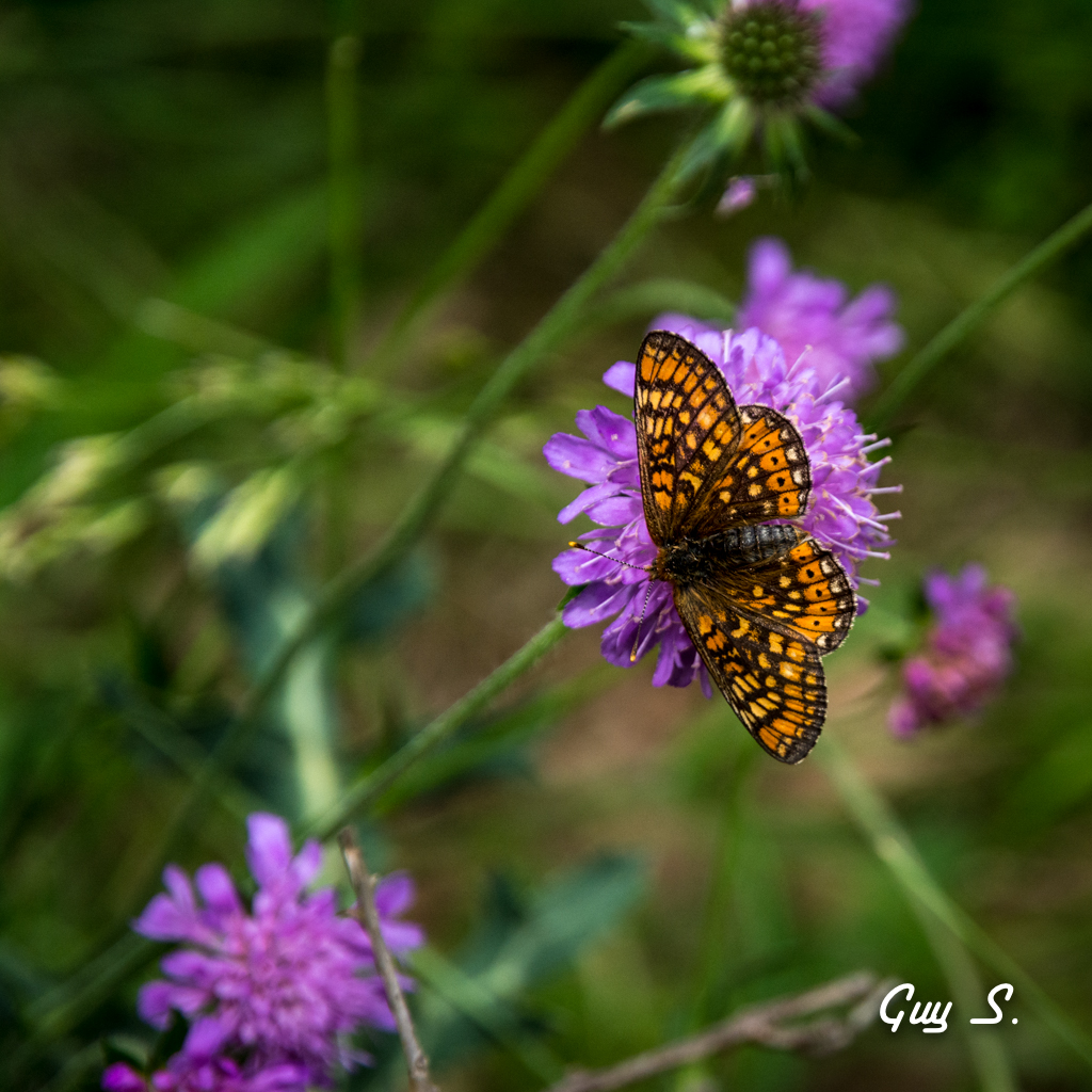papillon-9785