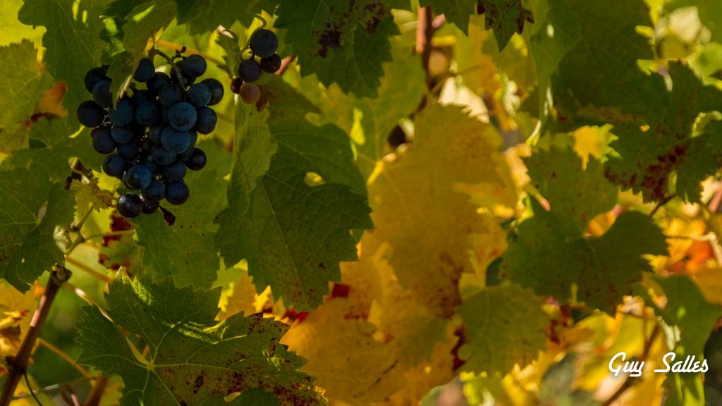 vigne automne-6869