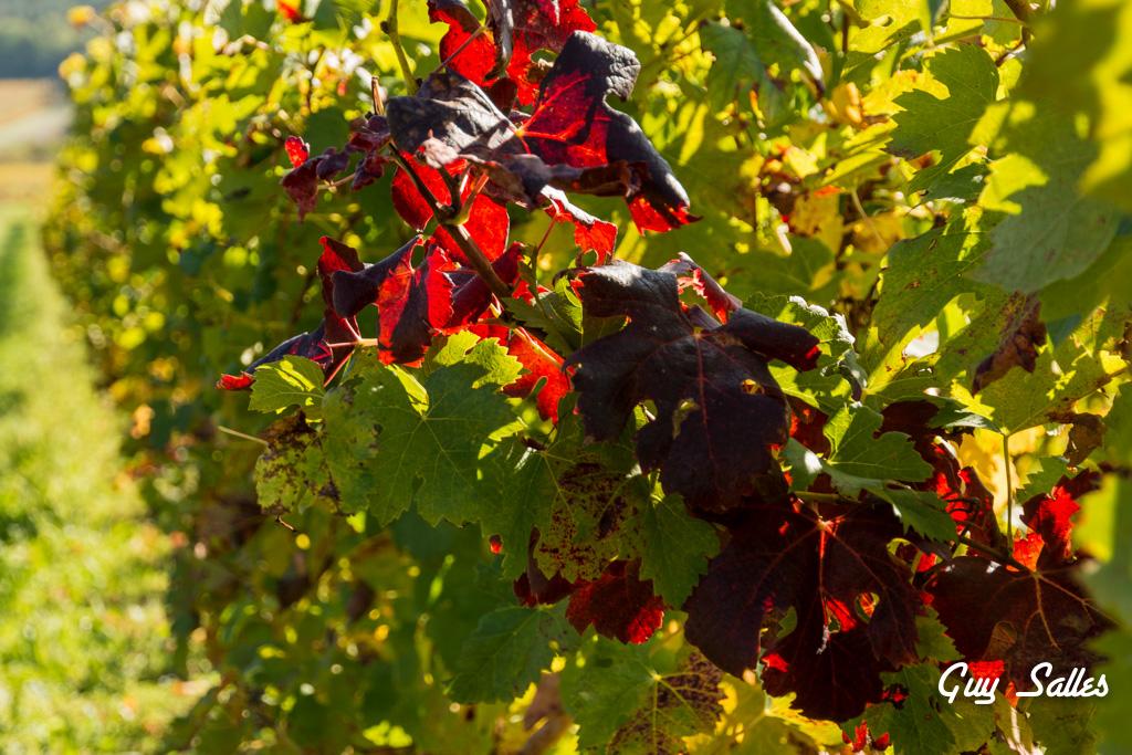 vigne automne-6870