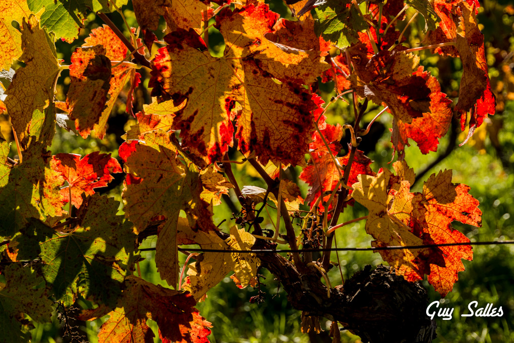 vigne automne-6872
