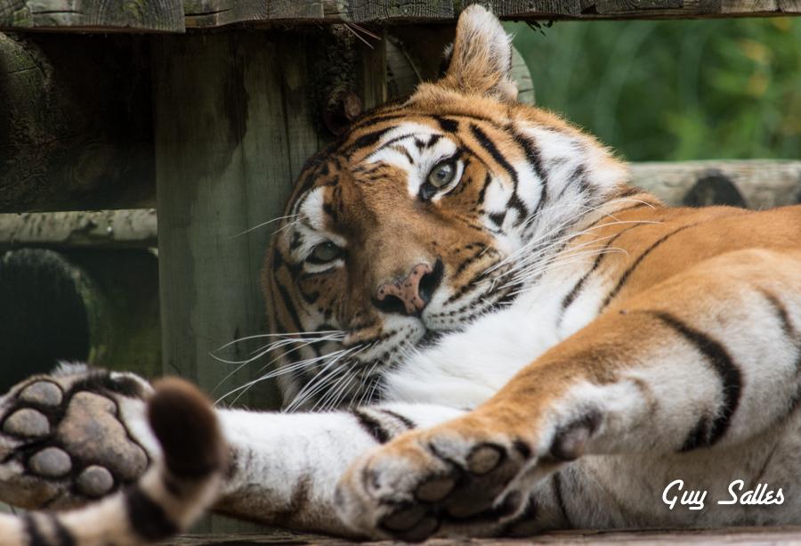 tigre-7082