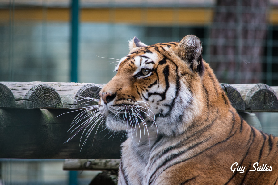 tigre-7101