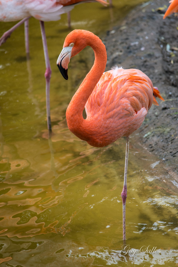 flamant rose-7063