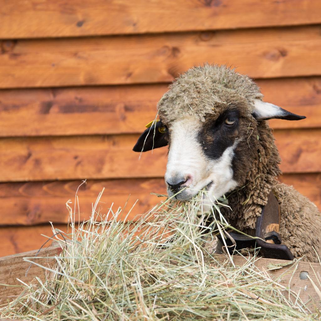 mouton-4750