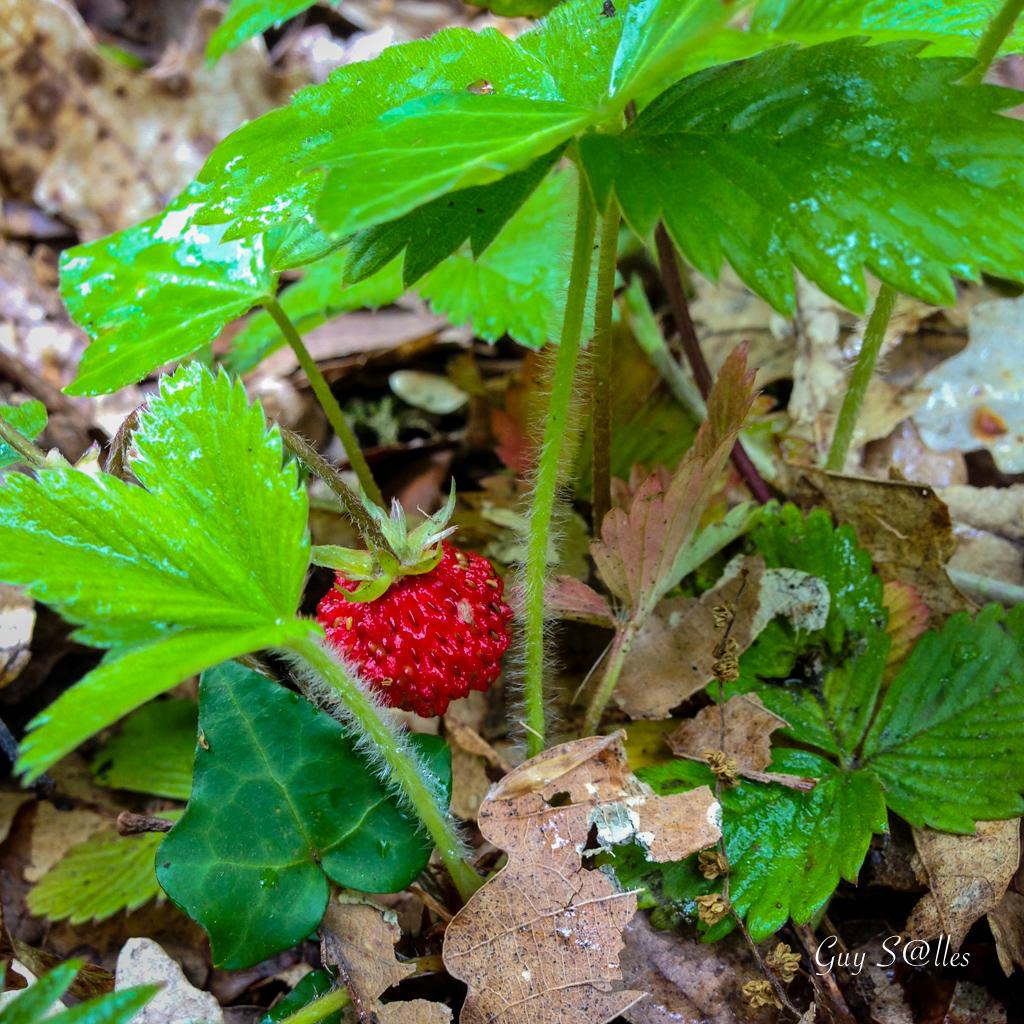 fraisedesbois-0902